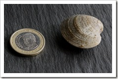 Clam size